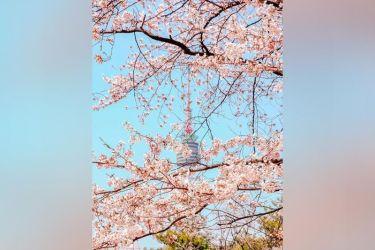 aesthetic pastel korea spring pink blossoms cherry flowers sunstar erupts festival during