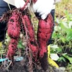 秋に楽しめる「芋掘り」の可愛い無料イラスト・写真集