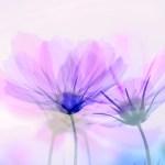 秋の花「コスモス」のかわいい無料イラスト・写真集