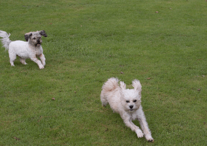 Action shot of the dogs chasing each other on the very green grass