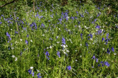 Blue bells sprinkled all through the green grasses
