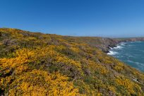 Looking out over the coastal track, yellow gorse flowers as far as the eye can see, blue clear skies above.