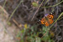 Monarch butterfly in focus on a bush, bush blurred