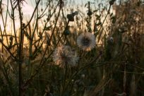 Dandelions in the setting golden sun