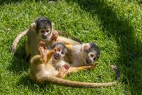 3 cheeky squirrel monkeys