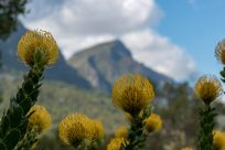 Focused on a yellow bulb flower, mountains blurred behind