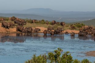 Cape buffalo filling up the watering hole