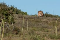 Lion sitting atop the hill looking down toward us