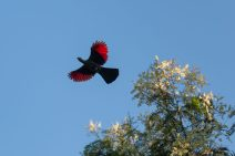 Knysna lorrie flying, black/dark body wings outstretched, ends tipped red