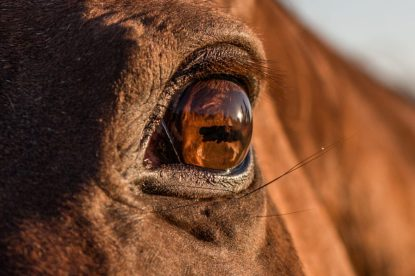 Close up of the horse eye lit up golden