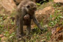 Baby monkey hugging mumma monkey