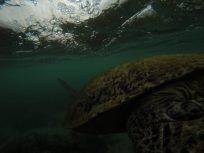 Big turtle swimming underwater