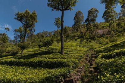 Terraced tea plantations