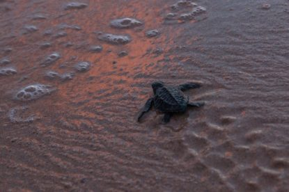 Baby turtle making a dash for the sea, its tiny flipper prints on the sand golden pink from the sunset colours reflecting