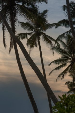 Palm trees hanging over the sea