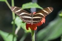 beautiful butterfly wings spread open on a leaf in Jardin Botanico