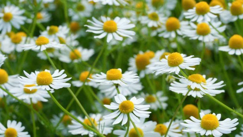 flori de musetel pe camp, galben, alb, verde