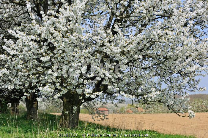 cires pasaresc, cires salbatic, inflorit, flori de cires,