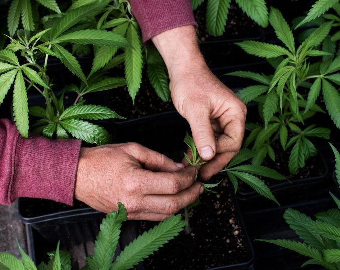 4. How the Weed Is Grown