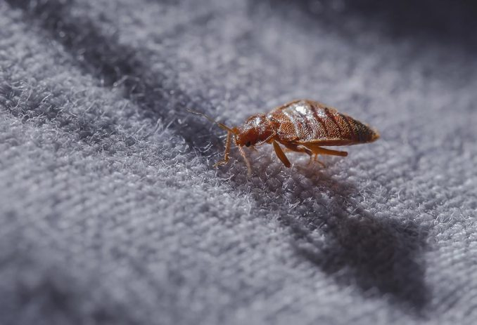 How to Kill Bed Bug