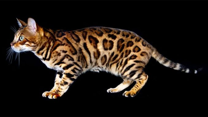 Bengal Cat for Sale: A Visual Guide to Colors, Personality & Patterns