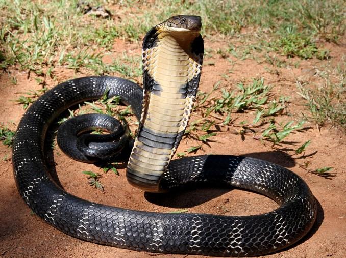 harmful snakes