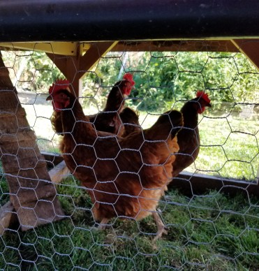 Our Egg Laying Hens