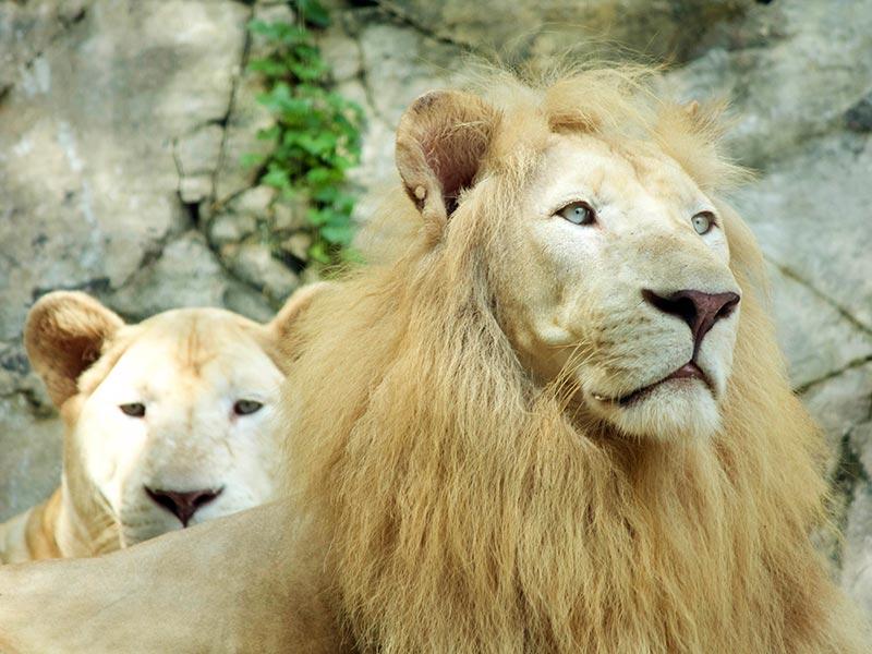 White Lions at Wildlife Park - Sunway Lagoon Malaysia Zoo