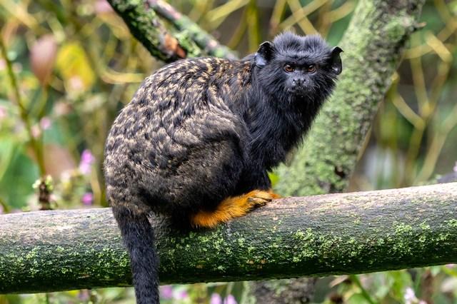 Foto de um sagui-de-mãos-amarelas.