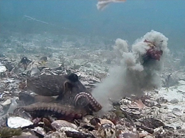 Female octopus throwing rocks from the bottom of the sea in male.