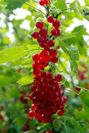 red-currant-1508524_960_720