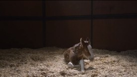 "[VIDEO] Budweiser 2013 Super Bowl XLVII Ad The Clydesdales: ""Brotherhood"""