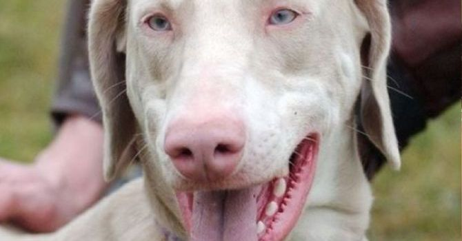 Albinismo En Perros