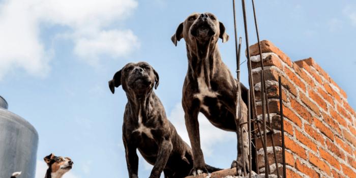 Carencias Que Vive Un Perro De Azotea