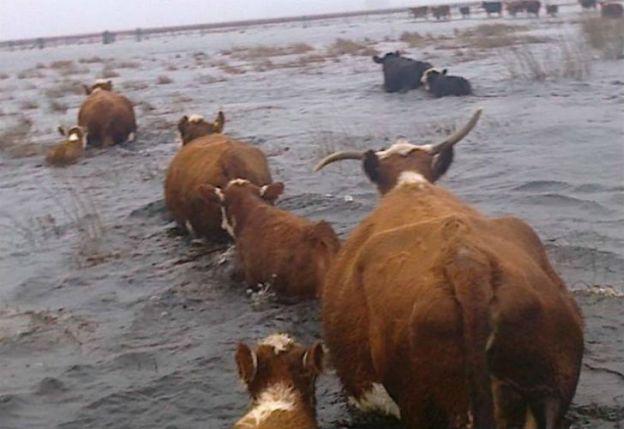 Ganado afectado por el desborde del río Salado. FOTO: Facebook.