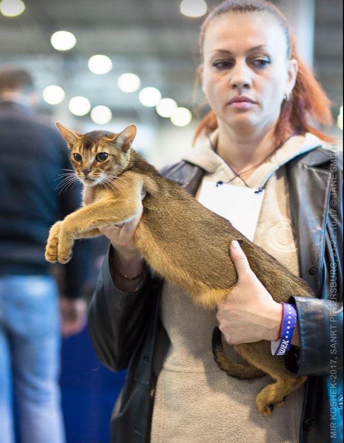 Абиссинская кошка Александра Законова
