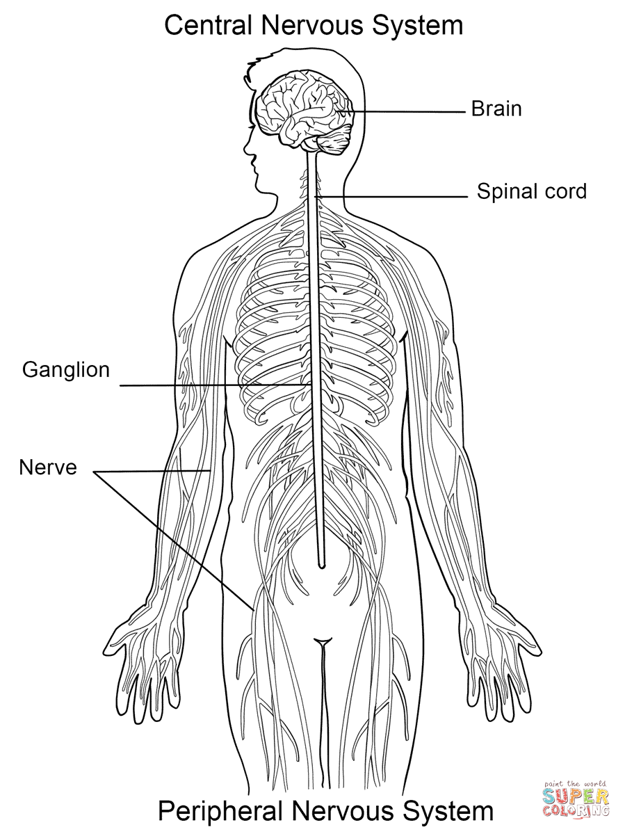 Nervous System Coloring Page  Free Printable Coloring Pages