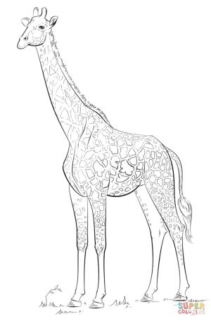 giraffe coloring draw drawing masai realistic pages cartoon step drawings animals easy printable tutorials tutorial giraffes animal wild dot