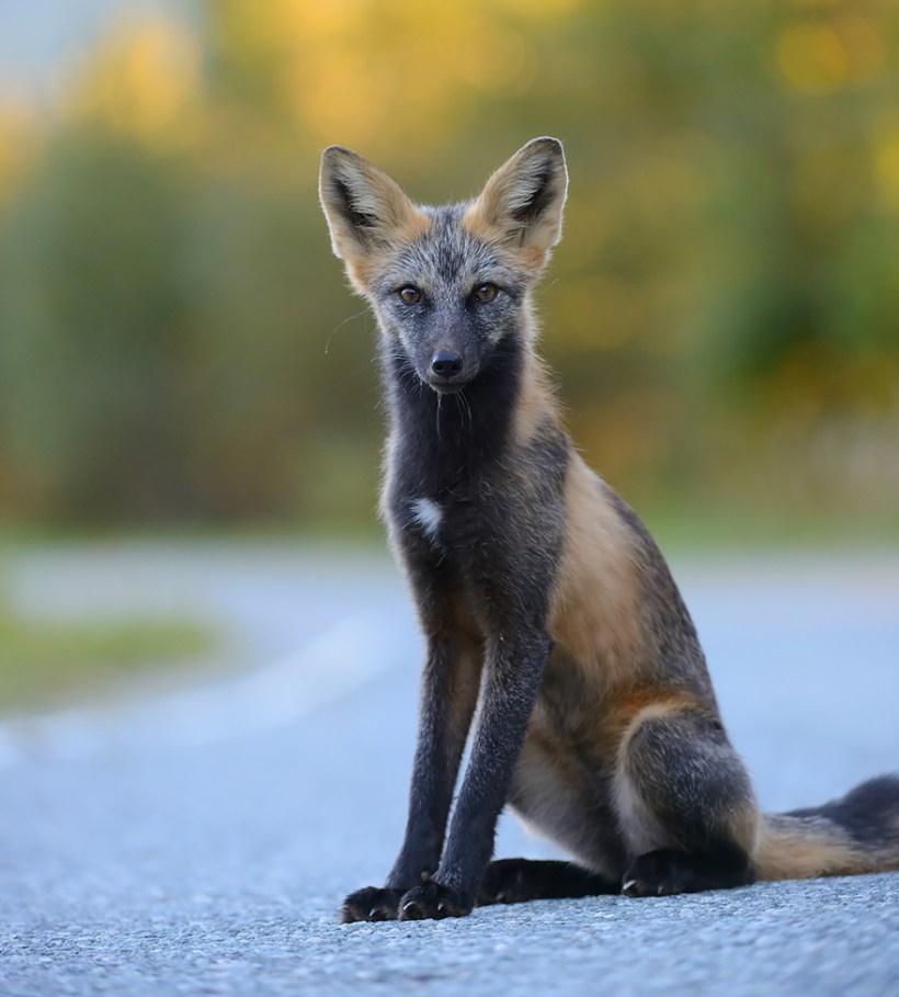 Черно-серебристая лисица