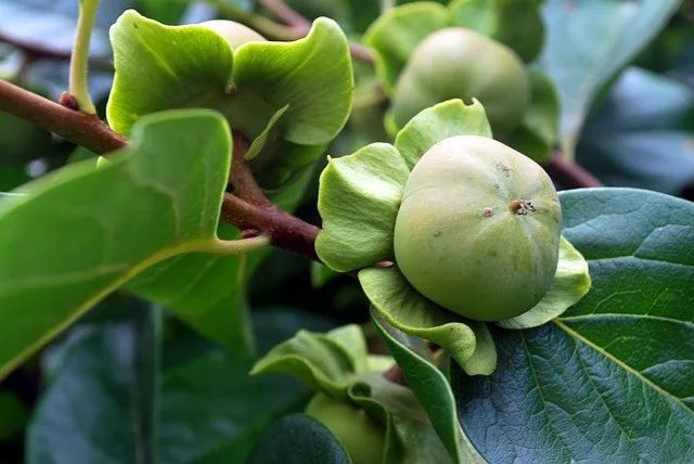 Supercritical CO2 extraction of essential oil from persimmon leaf