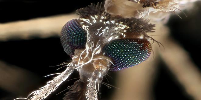 Qué pasaría si los mosquitos se extinguieran