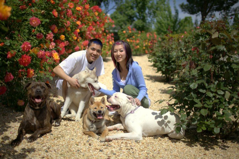 Pit Bull, Shiba Inu, Siberian Husky and Bulldog in Sacramento dog training-image.