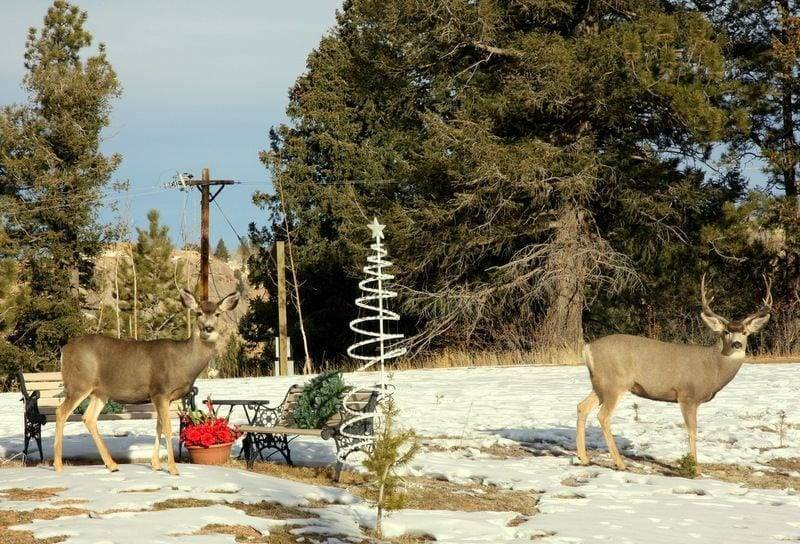 deer in colorado