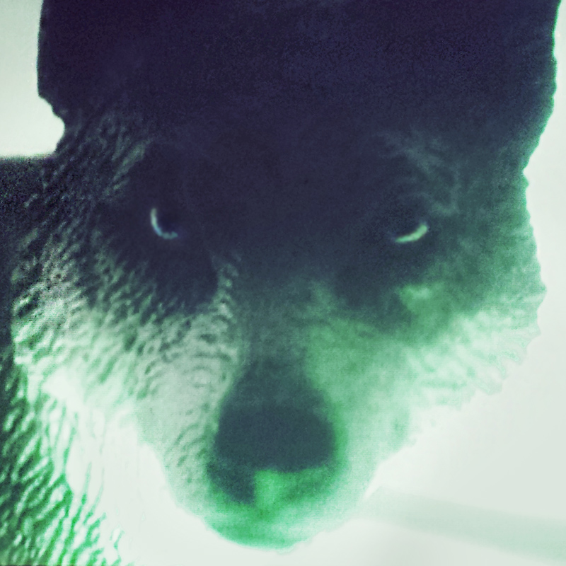 A close up photograph of a plastic toy wolf that appears to be looking into the camera, lit from below with a green light.