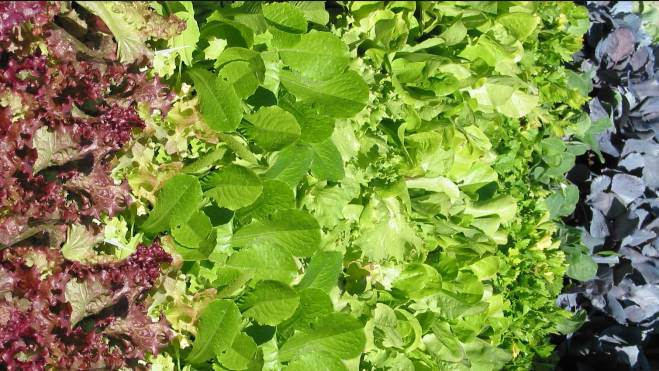 nutritional value of salad greens