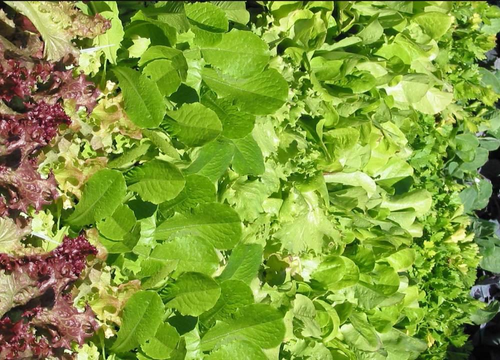nutritional value of salad greens