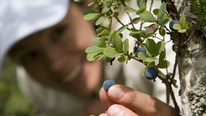wild blueberries benefits