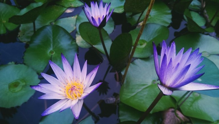 water-lilies-768x435