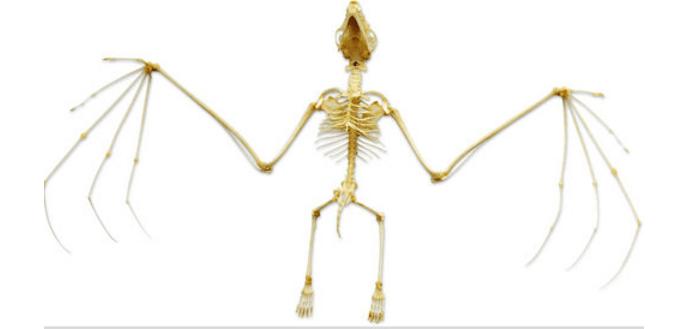 Yarasalar ve yine aynı iskelet sistemi. Kanatları ise parmaklarının uzaması ve aralarında olan zar ile. Kanatlarını oluşturan iskeletlerin sayısına dikkat edin. 5 taneler. Önce yarasaların daha çok kuşlara benzeyeceğini düşünseniz de gerçekte sizinle bize kuşlara benzediklerinden çok daha fazla benziyorlar.