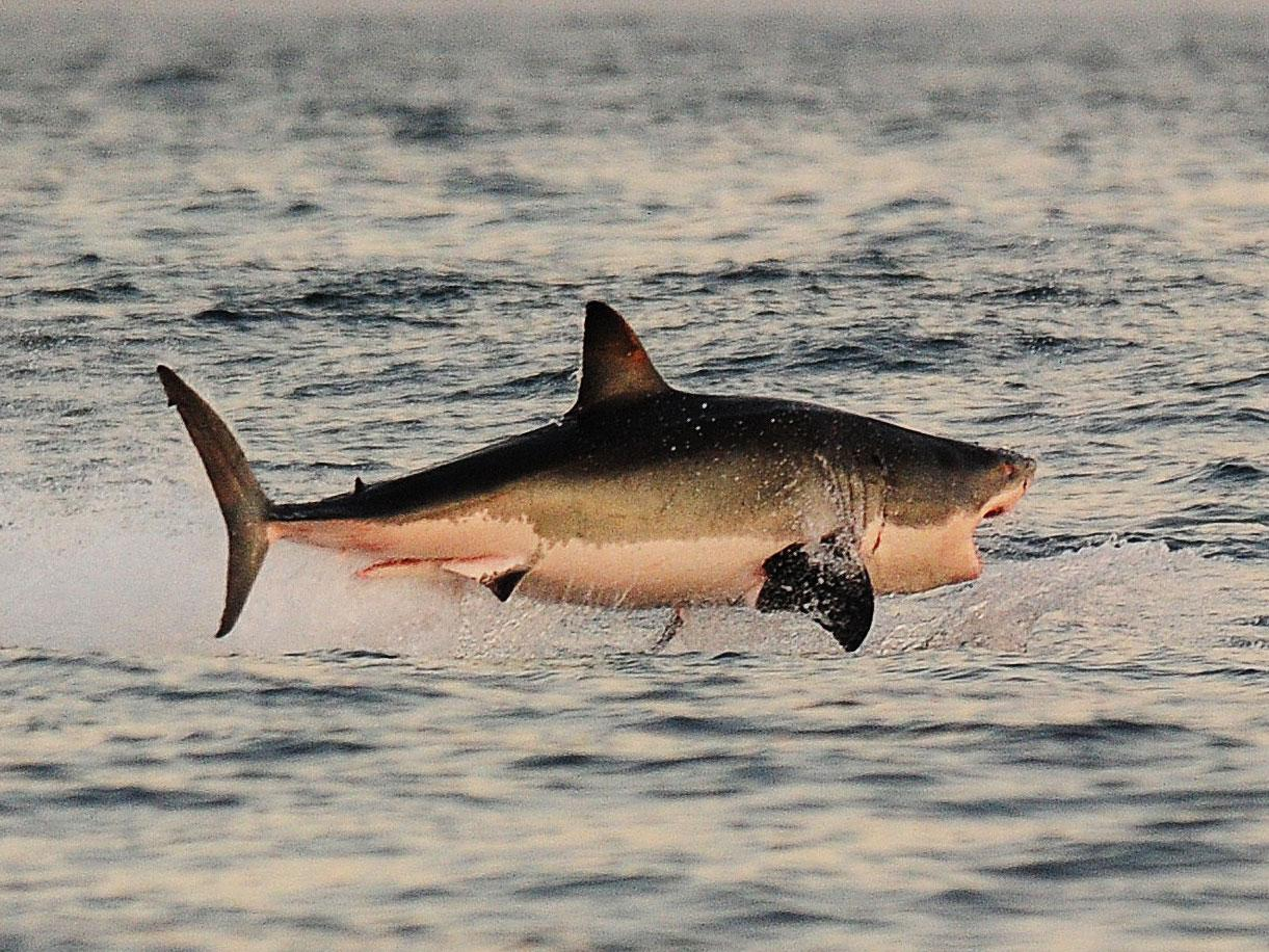 Japonların Köpekbalığı Yöntemi